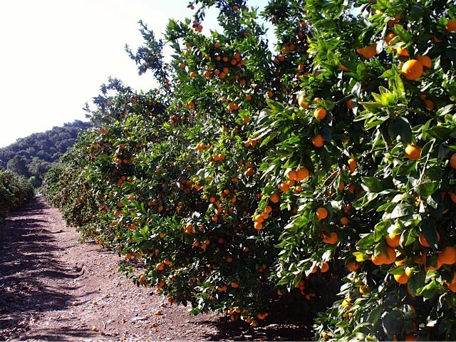Ojai Pixie Tangerine orchard