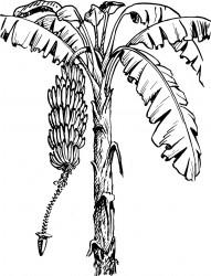 Banana Tree Printable Coloring Page