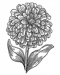 Zinnia Flower Coloring Page - free printable