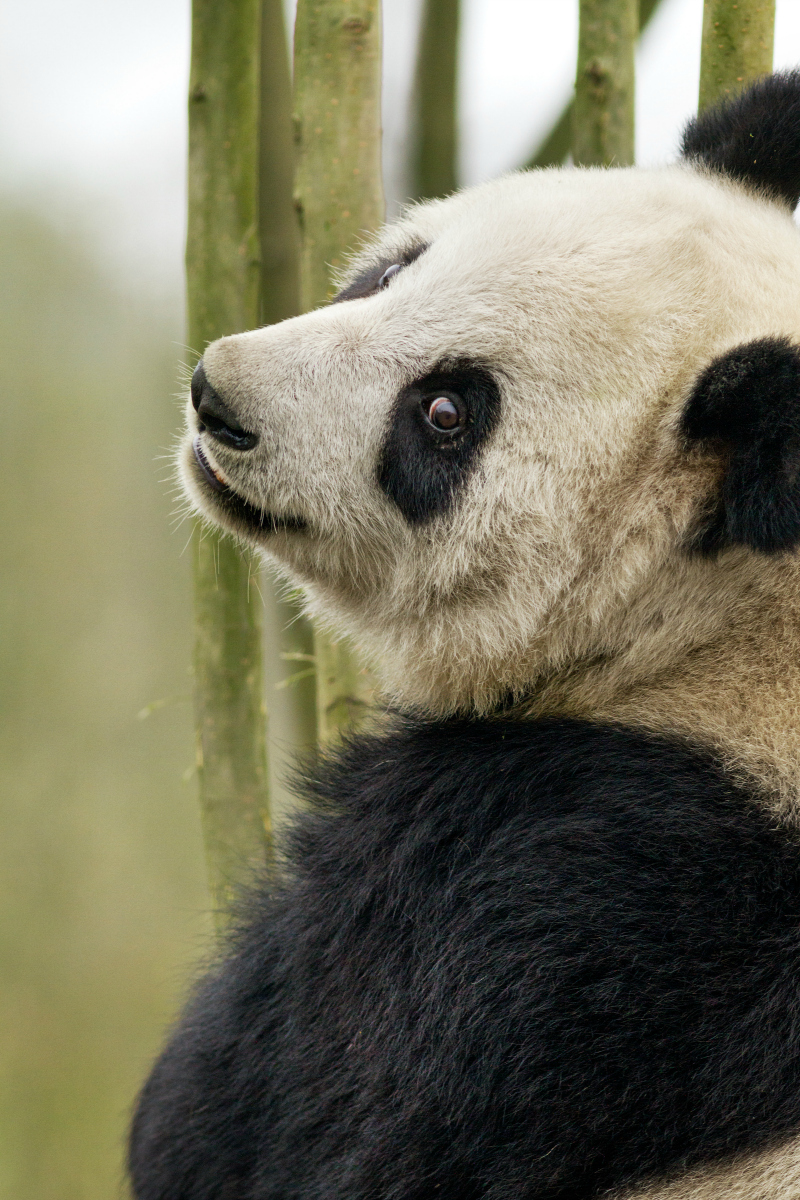 Disneynature Born in China MeiMei - Pandas