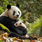 Disneynature Born in China Panda Facts Video