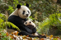 Disneynature Born in China Characters: YaYa and MeiMei - Pandas