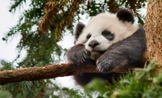 Disneynature Born in China MeiMei - Pandas