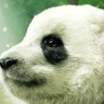 Pandas IMAX Documentary