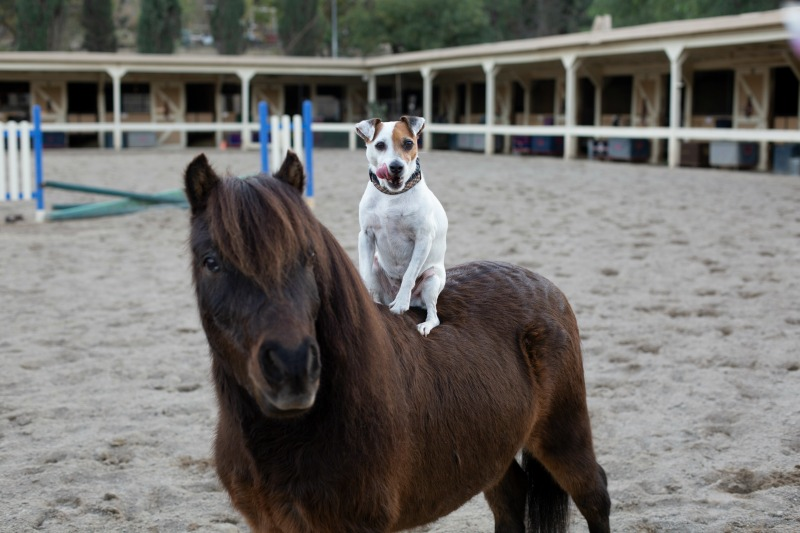 dog riding on a miniature horse