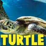 Turtle Odyssey Movie Narrated by Russell Crowe