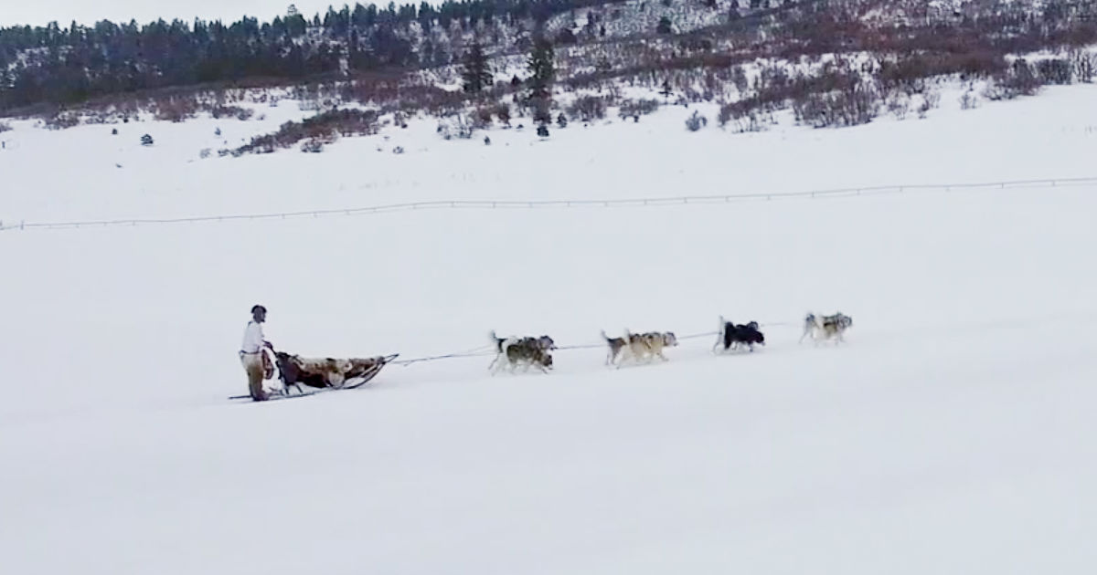 feature sled dogs in alaska