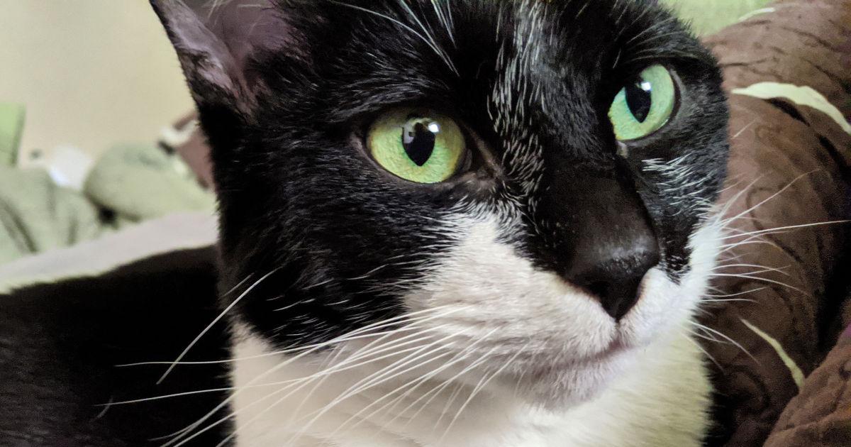 pretty girl tuxedo cat
