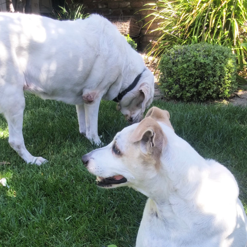 white dogs on lawn