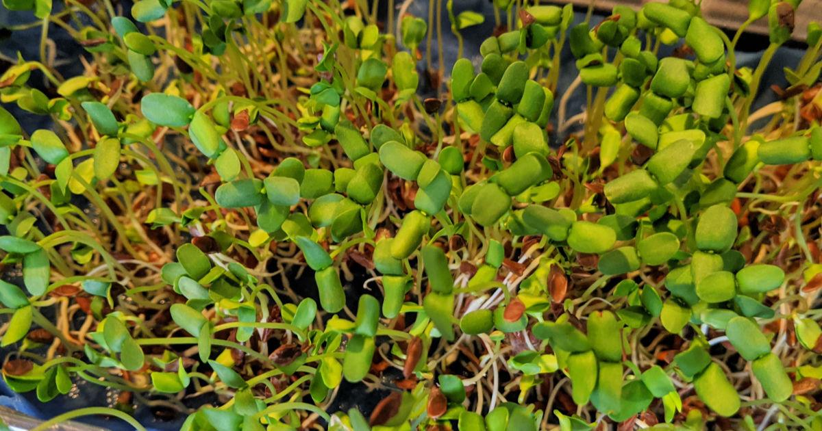flax microgreens