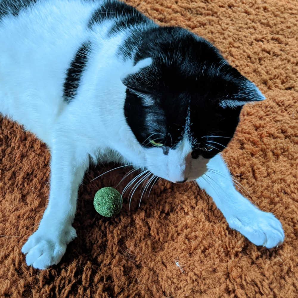 big tuxedo cat with catnip ball toy.