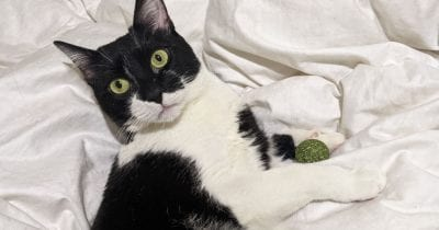 small tuxedo cat with catnip ball.