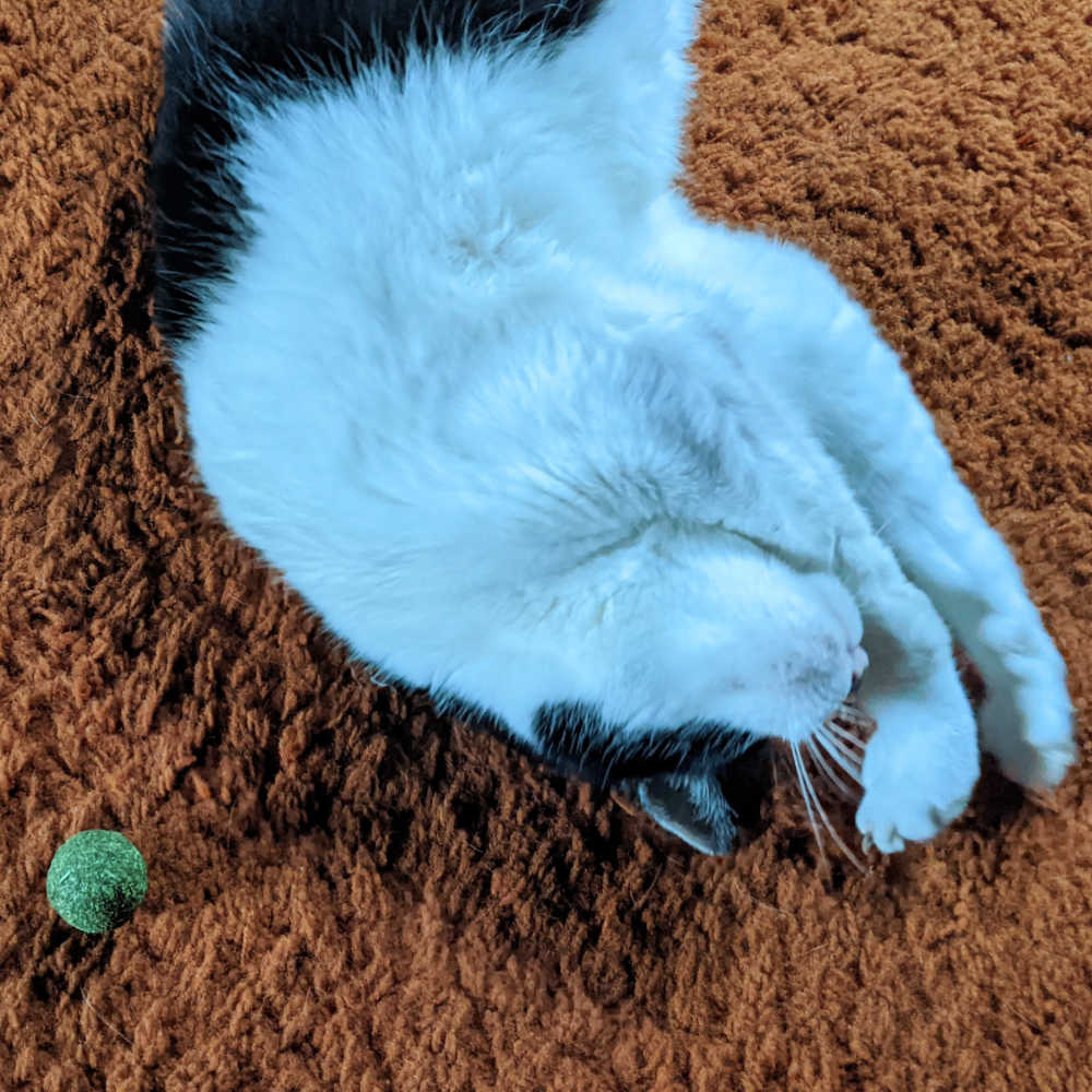 tuxedo cat with catnip toy.