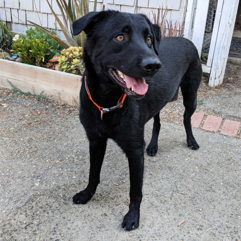 black lab mix dog