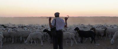 Spanish shepherd with sheep